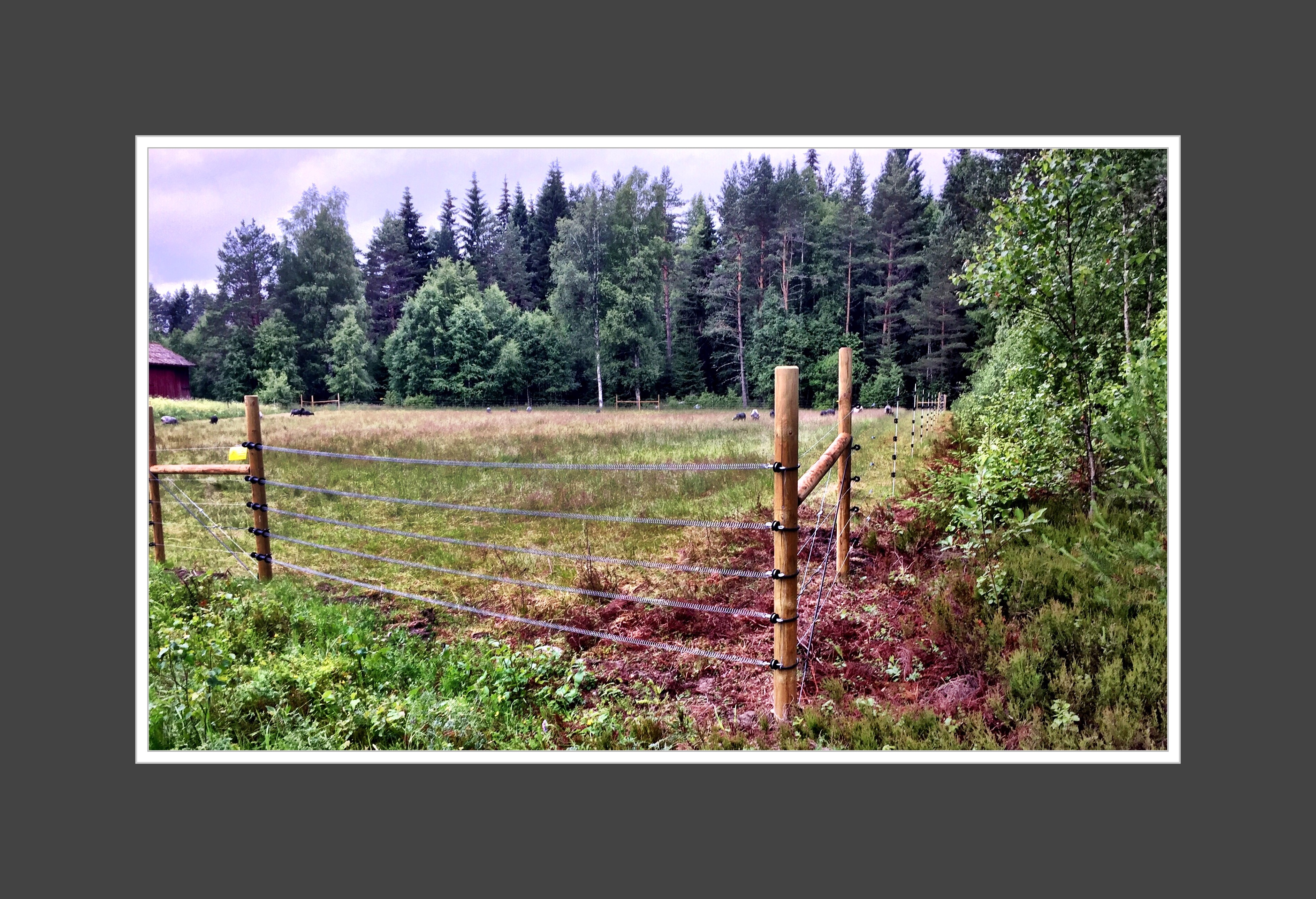 Rovdjursavvisande stängsel ger både varg och får livsrum.